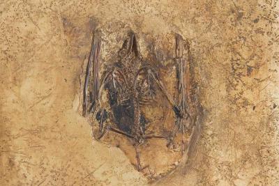 Deze fossiele vleermuis, Palaeochiropteryx sp., werd opgegraven in Messel.