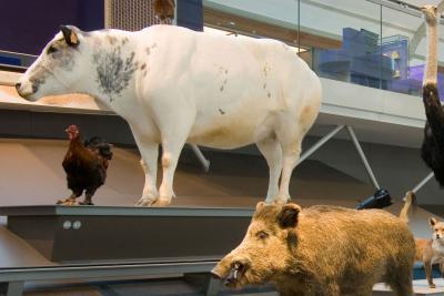 Koe van het Belgische witblauw ras