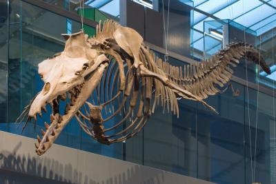 Dorudon atrox, une des espèces intermédiaires entre les baleines modernes et leurs ancêtres terrestres, dans la Galerie de l'Évolution
