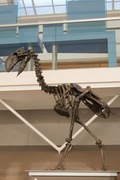 Deze enorme loopvogel, Dyatrima, staat in de Galerij van de Evolutie