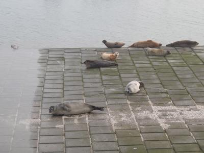 Phoques communs dans le port de Nieuwpoort le 17 novembre 2018 (© Linda Vanthournout)