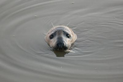 Grey seal in the harbour of Nieuwpoort on 17 January 2017 (foto: T. Hubin/RBINS).