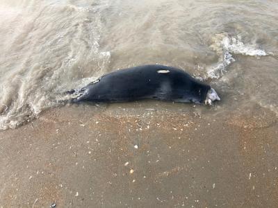 Grey seal with typical head injuries, Oostduinkerke, 20 March 2021 (© Fire Brigade Westhoek)