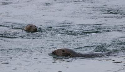 Grey seals, 16 November 2019 © RBINS/Kelle Moreau