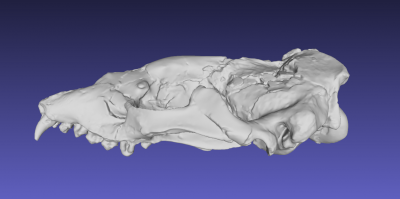 3D model of the skull of the late Miocene seal Hadrokirus