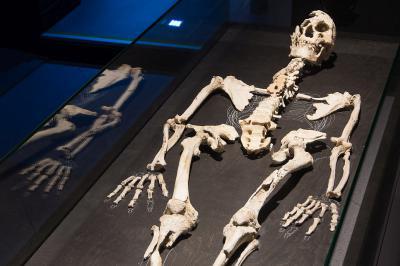 Het specimen dat de moderne mens, Homo sapiens, in dit deel van de zaal voorstelt, werd Nazlet Khater genoemd, naar de Egyptische site waar hij werd opgegraven. Hij leefde bijna 38 000 jaar geleden in de Nijlvallei. (foto: Thierry Hubin - KBIN)