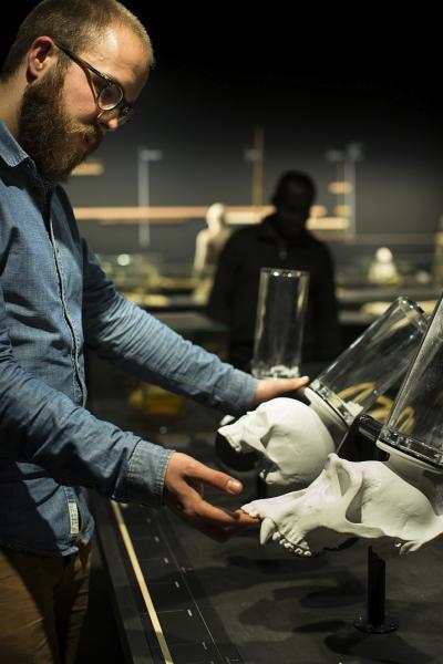 Ein Besucher vergleicht den Schädel eines Menschen, eines Gorillas und eines Australopithecus