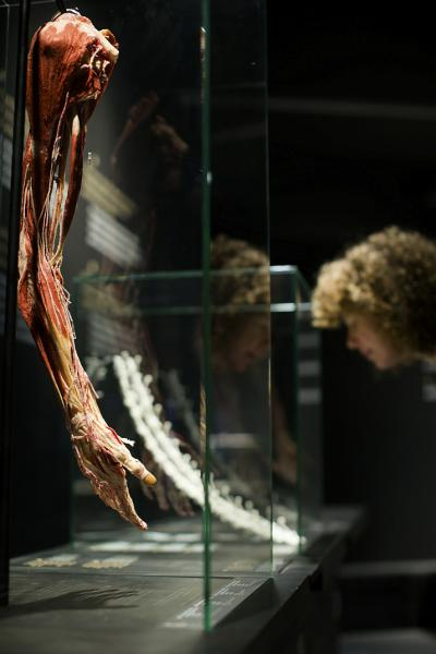 A plastinated arm and its muscles (photo: Koen Broos)