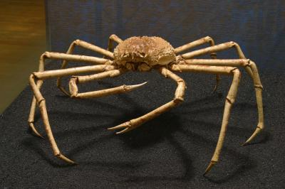 Le crabe géant du Japon Macrocheira kaempferi