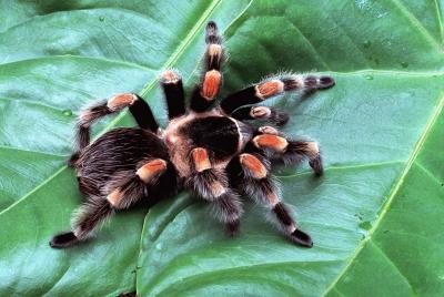 The Mexican red-kneed tarantula, 'Brachypelmasmithi smithi'