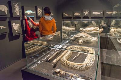 Des squelettes de tétrapodes (lézard, serpent, tortue, crocodile, oiseau, cétacé…) sont exposés dans les vitrines du Tetrapodium (photo : Thierry Hubin, IRSNB)