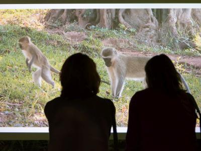 Visiteurs regardant une vidéo dans l'expo LES SINGES (photo : Thierry Hubin / IRSNB-