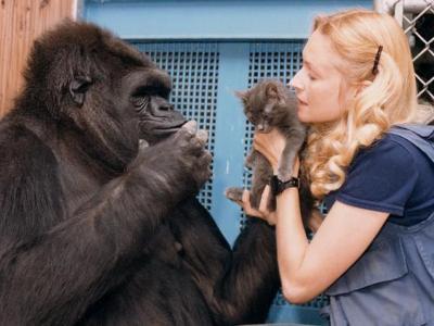 Koko le gorille et Penny Patterson qui lui tend un chaton (photo : Ron Cohn © 2015 The Gorilla Foundation / Koko.org)