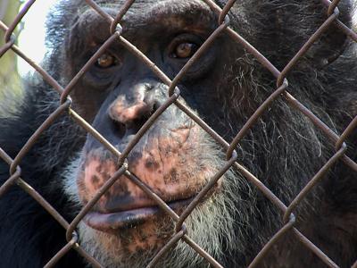 Chimpansee in gevangenschap (beeld uit de film Unlocking the Cage, copyright: Pennebaker Hegedus Films)