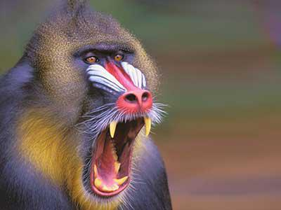 """visuel de l'expo """"Les Singes"""": tête de mandrill la gueule ouverte"""