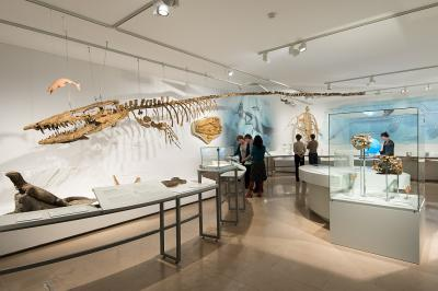 The The skeleton of this 'Hainosaurus bernardi' measures nearly 12.5 metres long.measures nearly 12.5 metres long.