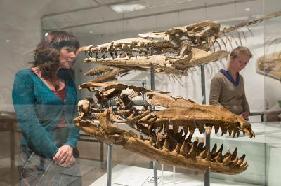 Twee fossiele schedels van mosasauriërs, tentoongesteld in de zaal