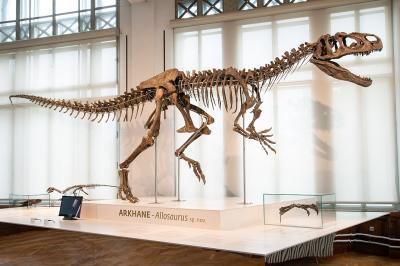 Het prachtige skelet van Arkhane in de Evolutiegalerij. Arkhane was een roofdinosauriër uit het juratijdperk (155 miljoen jaar geleden) (foto: Thierry Hubin / KBIN)