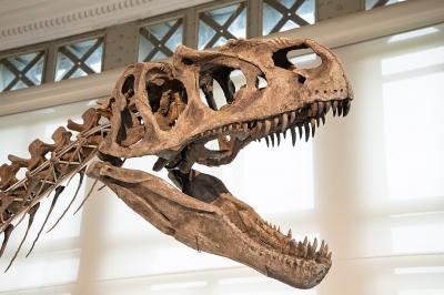 Skull of the allosaur Arkhane (photo: Thierry Hubin / RBINS)