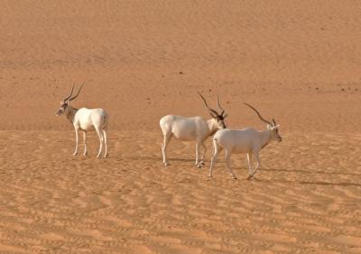 Addax antilope (Foto: Thomas Rabeil/Sahara Conservation Fund)