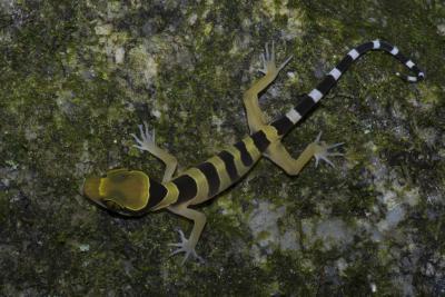 Cyrtodactylus bintangtinggi, een hagedis die Olivier Pauwels in 2012 co-beschreef. (foto: Lee Grismer)