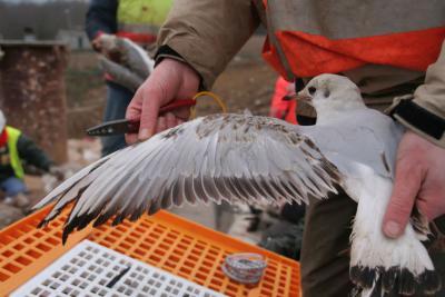 Vogels worden gemeten en geringd.