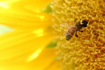 La pollinisation en cours.