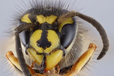De kop van een wesp in detail.