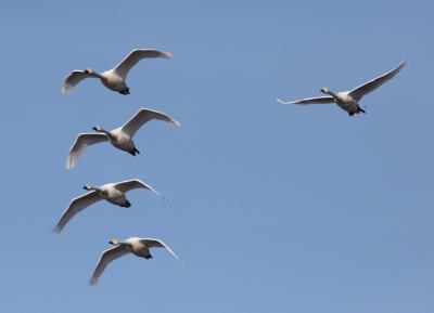 Kleine Zwanen in de Evros Delta (foto Didier Vangeluwe).