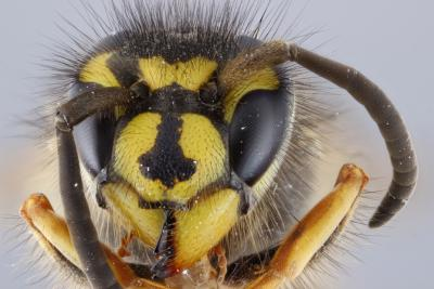 The head of the wasp Vespula vulgaris in detail.