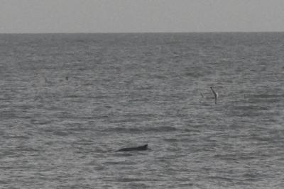 Des baleines à bosse chez nous (photo F.Kerckhof - DO Nature).