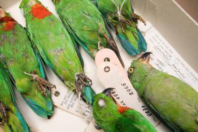 Perruches dans la collection des vertébrés