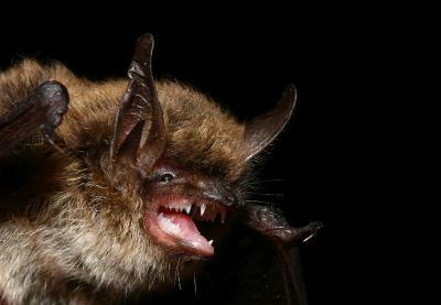 Une chauve-souris du genre Myotis (CC Manuel Ruedi).