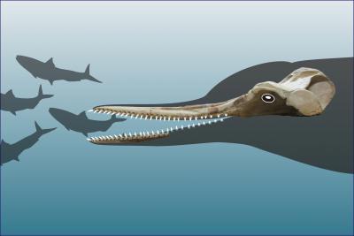 Schedel en deel van het kaakbeen van de nieuwe dolfijnsoort Huaridelphis raimondii, met een schets van de kop