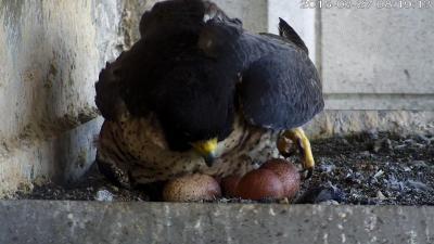 Slechtvalkwijfje en haar vier eieren