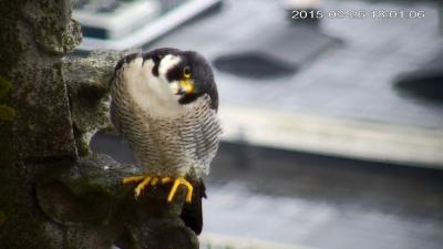 Le faucon pèlerin mâle sur une tour de la Cathédrale (zoom) (© IRSNB)