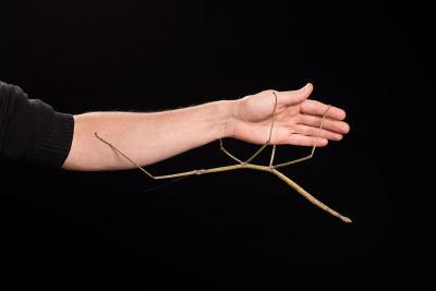 Phryganistria heusii yentuensis – het tweede grootste insect ter wereld – hangend aan de arm van bioloog Jérôme Constant (KBIN)