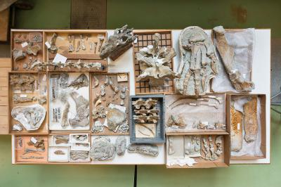 Een overzicht van de geprepareerde botten. De schedel is een afgietsel. (foto: Thierry Hubin - RBINS)