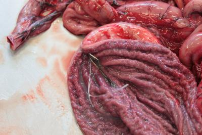 Fishhook in the stomach of the seal.