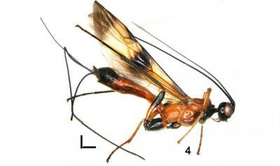 De nieuwe, zwart-geel-roodachtige wespensoort Nervellius Philippus, vernoemd naar Koning Filip