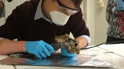 Een onderzoeker neemt een staal van de hondenschedel van Goyet, de oudste 'trouwe viervoeter' tot nu toe, voor DNA-onderzoek. (foto: Reinout Verbeke - KBIN)