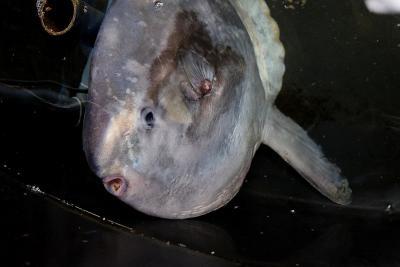 De aangespoelde maanvis, in een bassin in Sea Life Blankenberge (foto: Jan Haelters - KBIN)