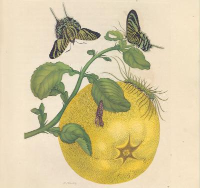 """Plaat 29: """"Deze groote en heerlyke vrucht, word Pompelmoes in Surinaame genaamt."""" (voorblad van de heruitgave door Lannoo)"""