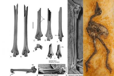Beenderen van een poot (tarsometatarsus) en een vleugel (carpometacarpus) van een Messelornithidae van Egem (vroege eoceen) in vergelijking met die van Messelornis cristata van Messel, in Duitsland (middeneoceen) (Foto: Sven Tränkner en Thierry Hubin)