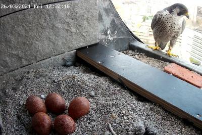 Een van de twee slechtvalken die in de ULB nestelen waakt over de 5 gelegde eieren (foto: KBIN)