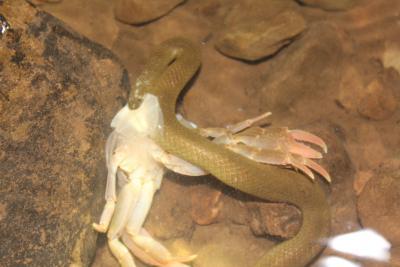 Le serpent Opisthotropis spenceri en train de manger un crabe morceau par morceau sous l'eau (photo : Nirut Chomngam)