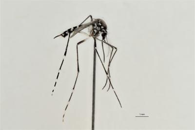 Tijgermug (Aedes albopictus)
