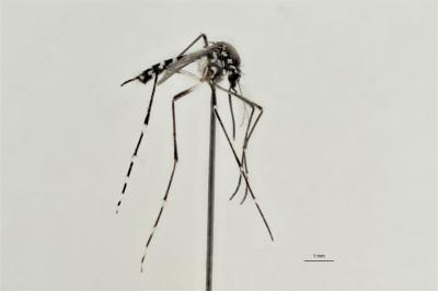 Le moustique-tigre Aedes albopictus dans nos collections entomologiques (photo : IRSNB)