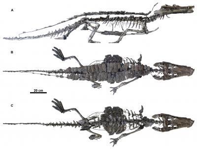 Le plus complet des deux spécimens d'Anteophtalmosuchus hooleyi, le grand crocodile de Bernissart (Photo : E. De Bast & Th. Smith, IRSNB)