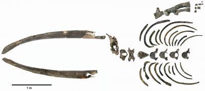Samenstelling van de fossiele botten van Antwerpibalaena liberatlas. (Foto: KBIN)